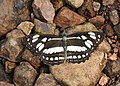 Short-banded Sailer Phaedyma columella UP by Dr. Raju Kasambe DSCN4078 (1).jpg