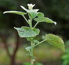 240px-Sida_cordifolia_%28Bala%29_in_Hyderabad%2C_AP_W_IMG_9423.jpg