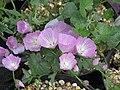Sidalcea malviflora (19088278752).jpg