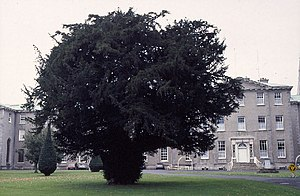 St Patrick's College, Maynooth - Ireland's oldest tree, the Silken Thomas Yew, is 700–800 years old.