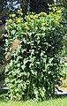 Silphium perfoliatum Prague 2013 3.jpg
