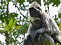 Silvered Leaf Monkeys (Trachypithecus cristatus) female and young (15596290848).jpg