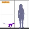Sinornithosaurus SIZE-fr.png