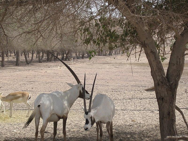 File:Sir Bani Yas -Arabisk oryx.JPG