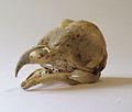 Skull Tyto alba.jpg