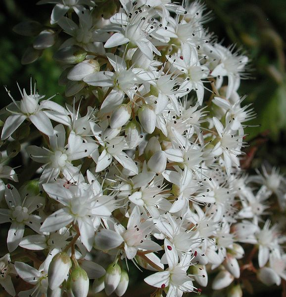 File:Small white flowers Orcas.JPG