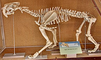 Smilodon - S. populator skeleton, Museo de La Plata, Buenos Aires