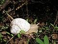 Snail Walkabout (132353387).jpg