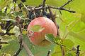 Snow White's Apple 2.JPG