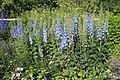 Sofiero (Helsingborg), delphinium in flower garden-1.JPG