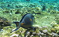 Sohal Surgeonfish, Acanthurus sohal, Red Sea, Egypt -SCUBA, -pictures, -photography (6621036871).jpg