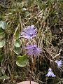 Soldanella alpina 03.JPG