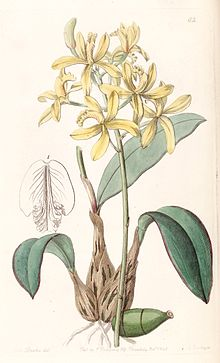 Sophronitis crispata (as Laelia flava) - Edwards vol 28 (NS 5) pl 62 (1842).jpg