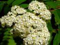 Sorbier des oiseleurs fleur.jpg