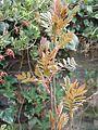 Sorbus sp new foliage - Flickr - peganum (5).jpg