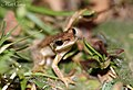 Southern Brown Tree Frog (Litoria ewingi) (8398121732).jpg