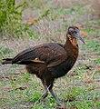 Southern Ground Hornbill (Bucorvus leadbeateri) juvenile (33460362615).jpg