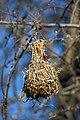 Southern Masked Weaver Nest 2019-07-28.jpg