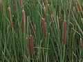 Southern cattail, Typha domingensis (15657392893).jpg
