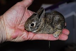 Southern swamp rabbit baby.jpg