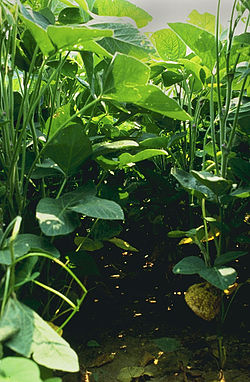 Soybeans grow throughout Asia and North and South America.