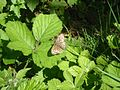 Speckled Wood (Pararge aegeria) (7580728566).jpg