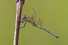 Spectacled skimmer (Orthetrum icteromelas) male.jpg