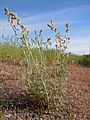Sphaeralcea grossulariifolia (5144285962).jpg