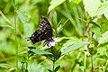 Spicebush swallowtail (19725022471).jpg