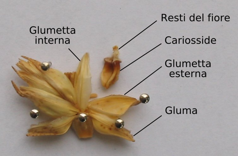 File:Spicula dissecta.png - Wikimedia Commons