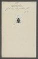 Spilophorus - Print - Iconographia Zoologica - Special Collections University of Amsterdam - UBAINV0274 022 07 0004.tif