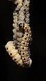 Spindle ermine larva (34665739051).jpg