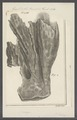 Spongia spec. - - Print - Iconographia Zoologica - Special Collections University of Amsterdam - UBAINV0274 112 02 0067.tif