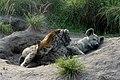Spotted hyena nursing her cub.jpg