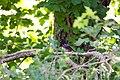 Spotted towhee (48111191452).jpg
