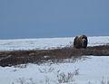 Spring Snow Muskox (5694044870).jpg