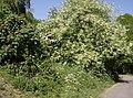Spring in full bloom in Great Elm - geograph.org.uk - 440618.jpg