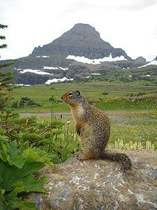 A squirrel posing in Glacier National Park.