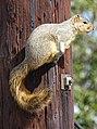 Squirrel on Telephone Pole - Culver City - Los Angeles - California - USA (46257211095).jpg