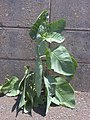 Starr-030523-0113-Nicotiana glauca-habit-State nursery Kahului-Maui (24007976263).jpg