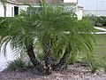 Starr-031108-0139-Phoenix roebelenii-habit-Sarasota-Florida (24580933231).jpg