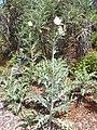 Starr-040318-0032-Argemone glauca-habit-Maui Nui Botanical Garden-Maui (24699584245).jpg