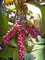 Starr-040509-0004-Cordyline fruticosa-fruit-Makawao-Maui (24075180273).jpg