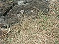 Starr-050419-0383-Digitaria ciliaris-habit-Mokolii-Oahu (24746019965).jpg