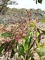 Starr-051029-8352-Charpentiera obovata-flowers-Auwahi-Maui (24220835044).jpg