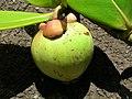 Starr-060922-9153-Clusia rosea-immature fruit-Kahului Airport-Maui (24865737295).jpg