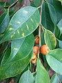 Starr-090430-7133-Ficus benjamina-leaves and fruit-Enchanting Floral Gardens of Kula-Maui (24835959492).jpg