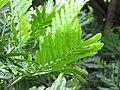 Starr-090623-1622-Filicium decipiens-leaves-Kaeleku-Maui (24940689346).jpg
