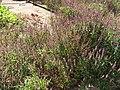 Starr-090721-3215-Ocimum basilicum var thyrsiflorum-flowering habit-Wailuku-Maui (24674902430).jpg