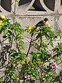 Starr-090806-4007-Turnera ulmifolia-flowering habit with house finch foraging-Kahului-Maui (24676241440).jpg